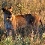 Kruger Lioness - Alone