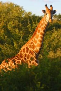 Kruger - Giraffe