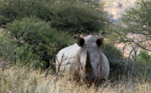 blog-rhino